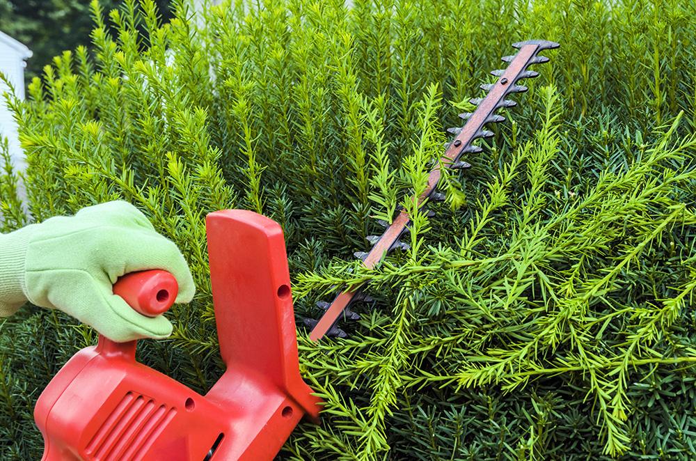Pruning Yew bush