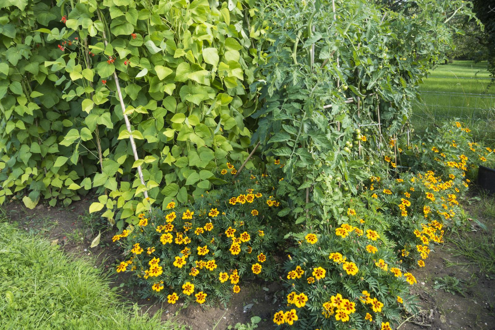 Companion planting to deter pests