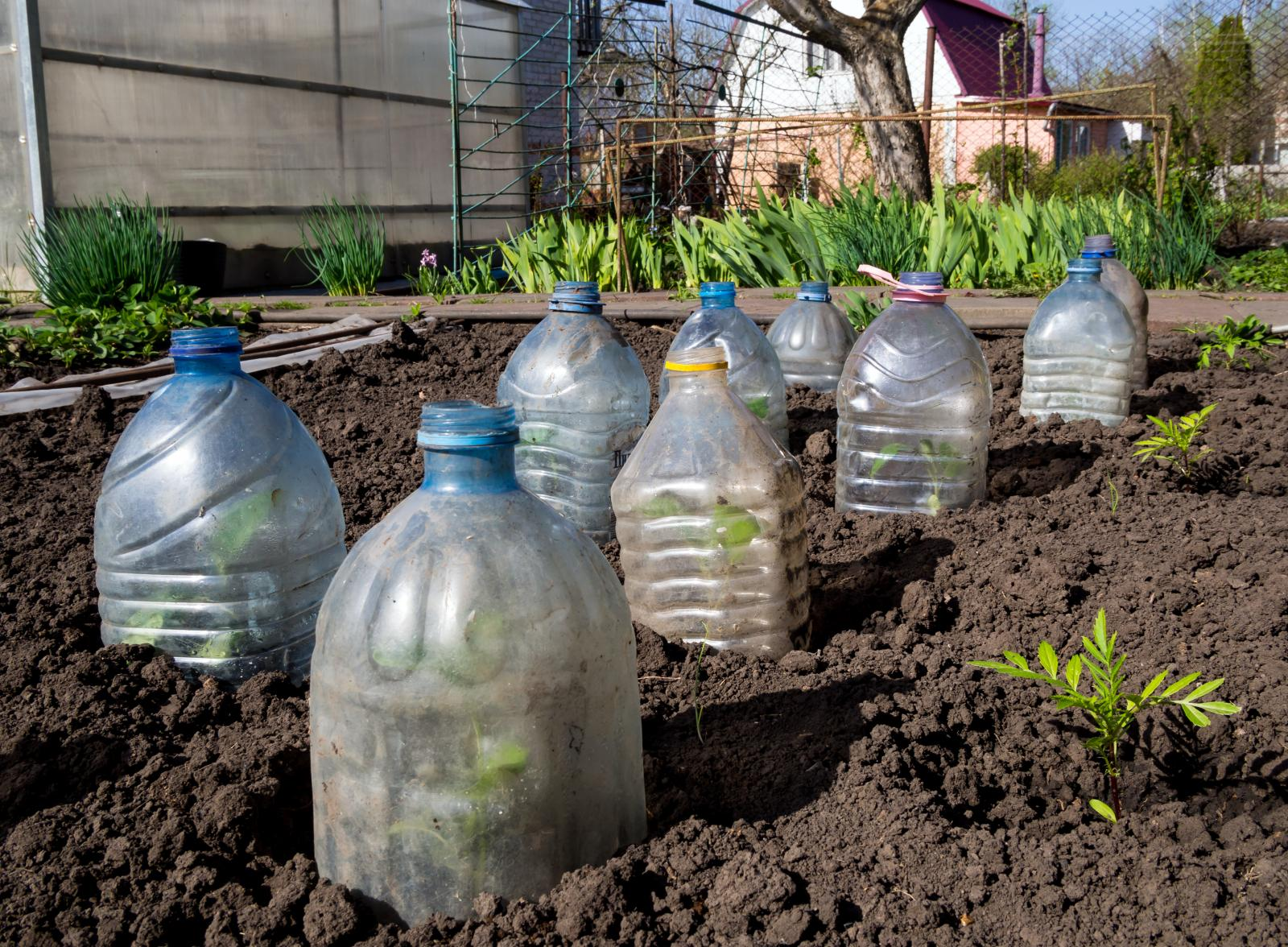 Using plastic bottles to protect plants