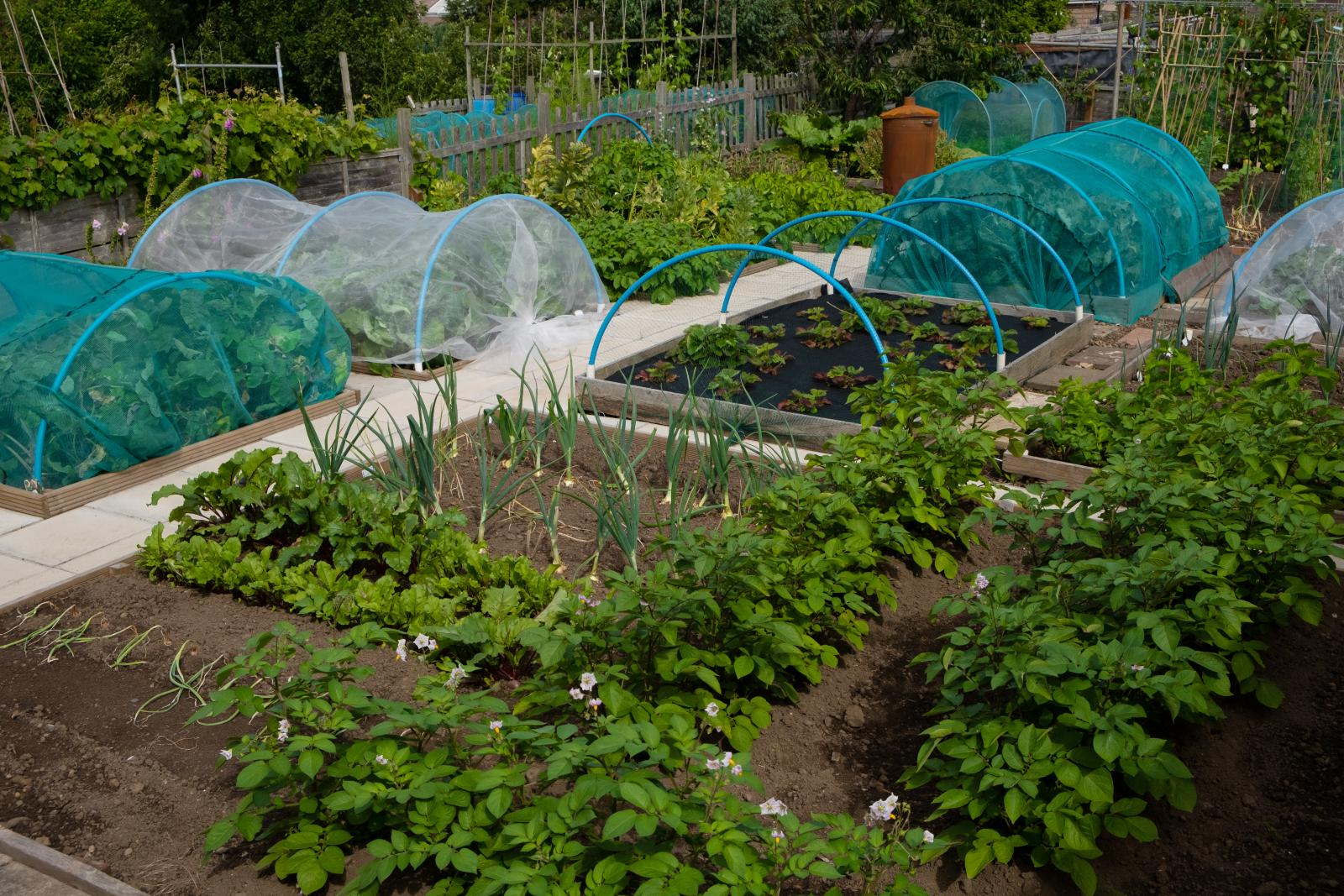 Protect Brassicas from birds with netting