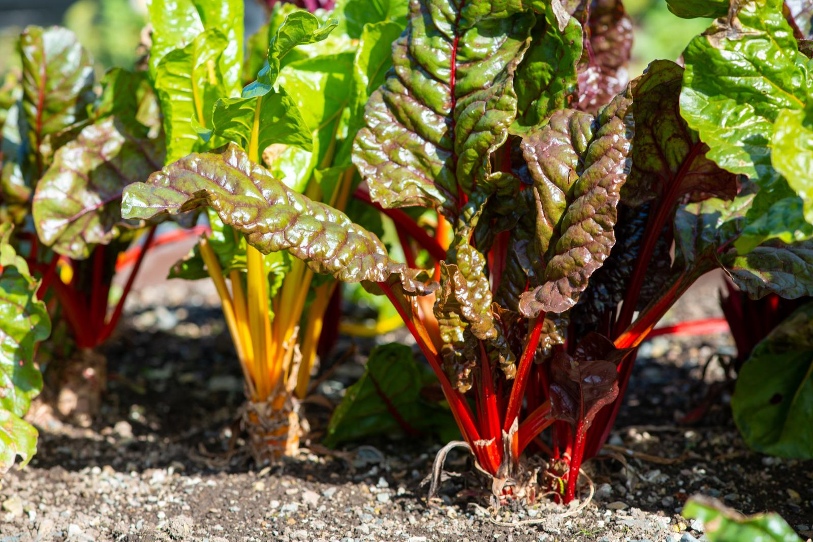 May is a good time to sow leafy greens - including Chard