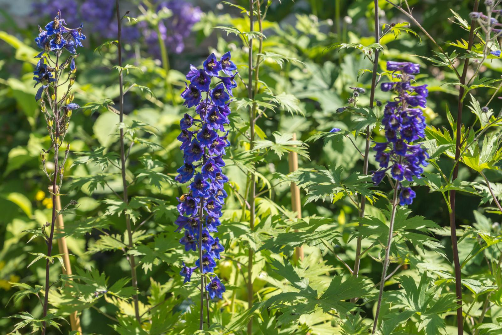 Supporting Delphiniums with bamboo canes
