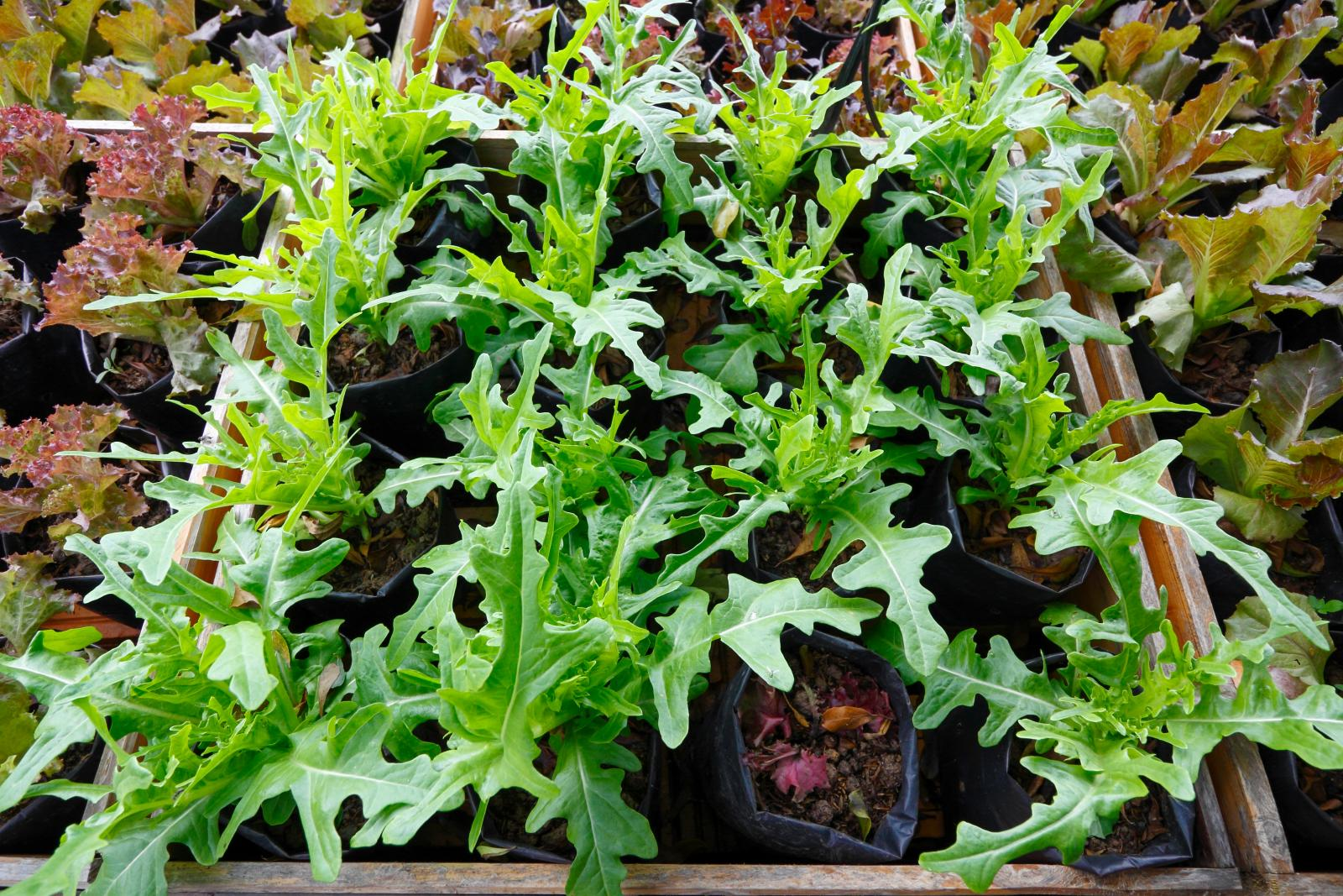Growing rocket and mixed salads in containers