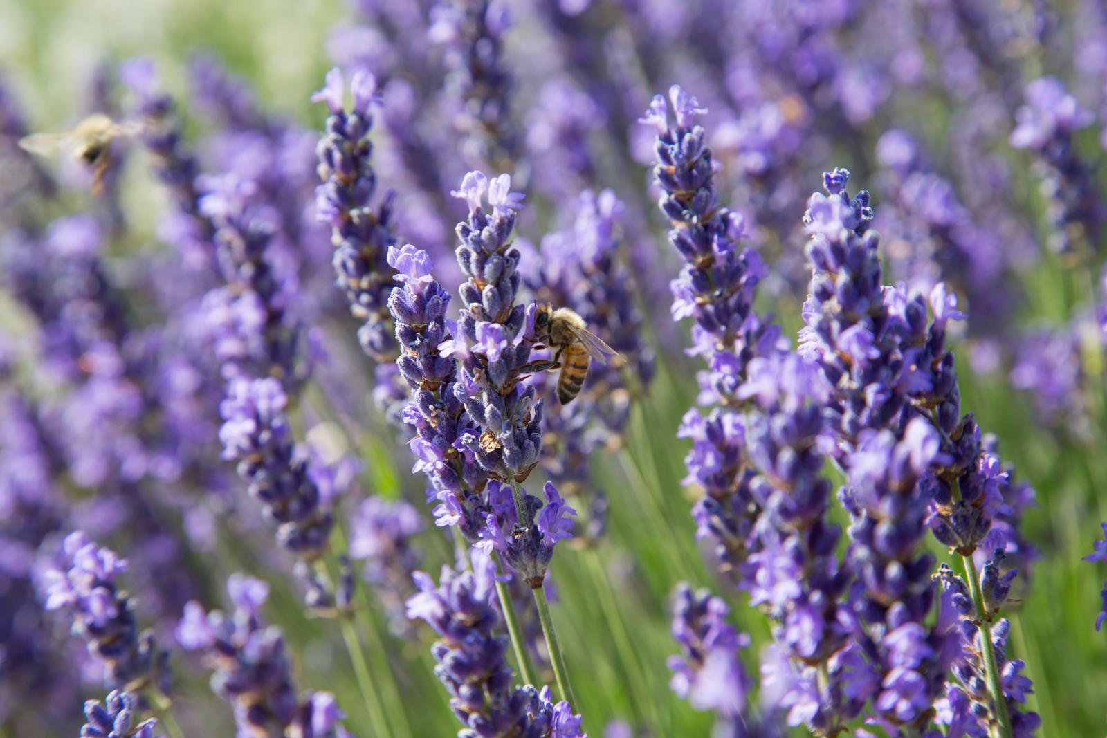 Lavender is great for attracting bees to your garden