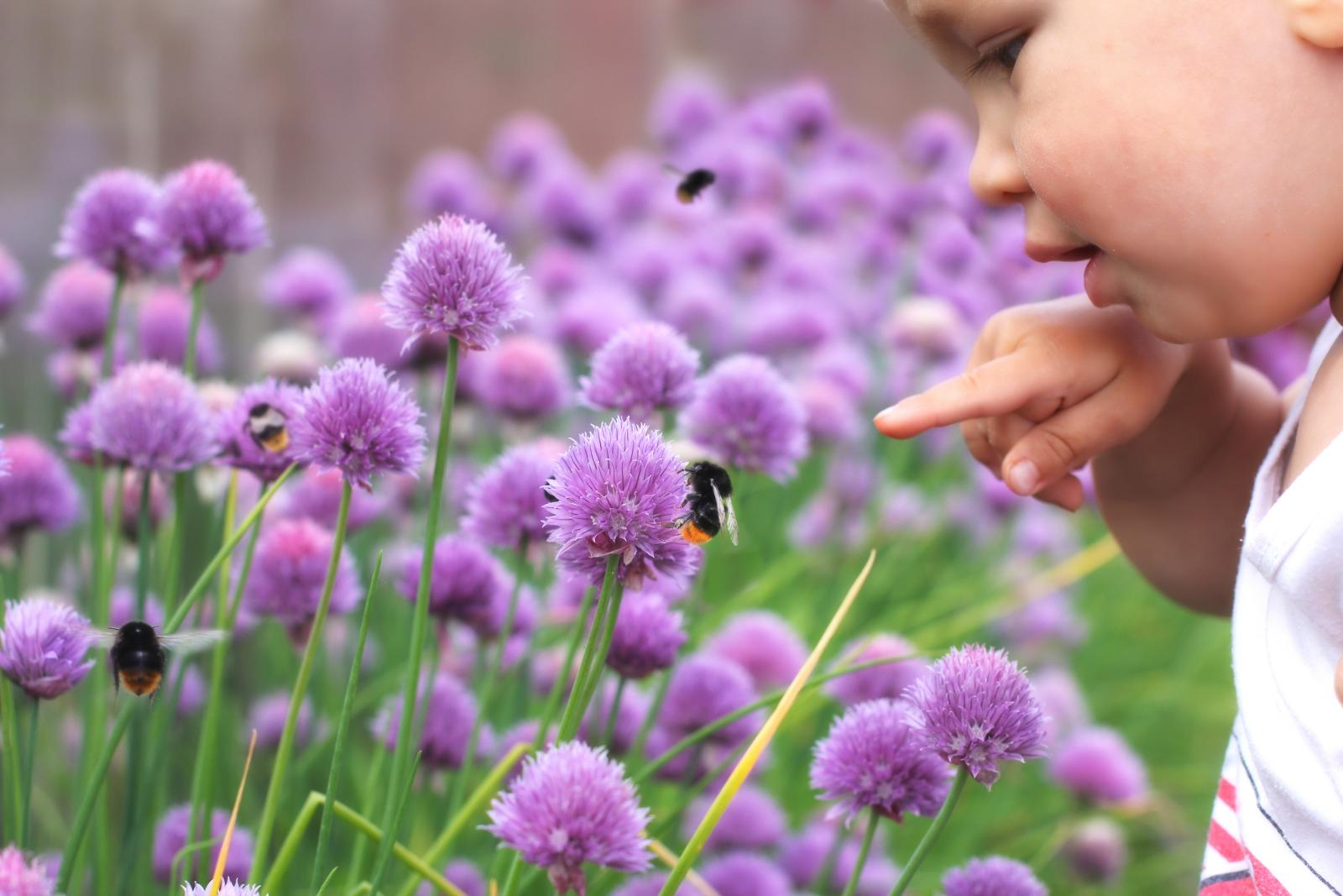 Lavender as part of a child friendly herb garden