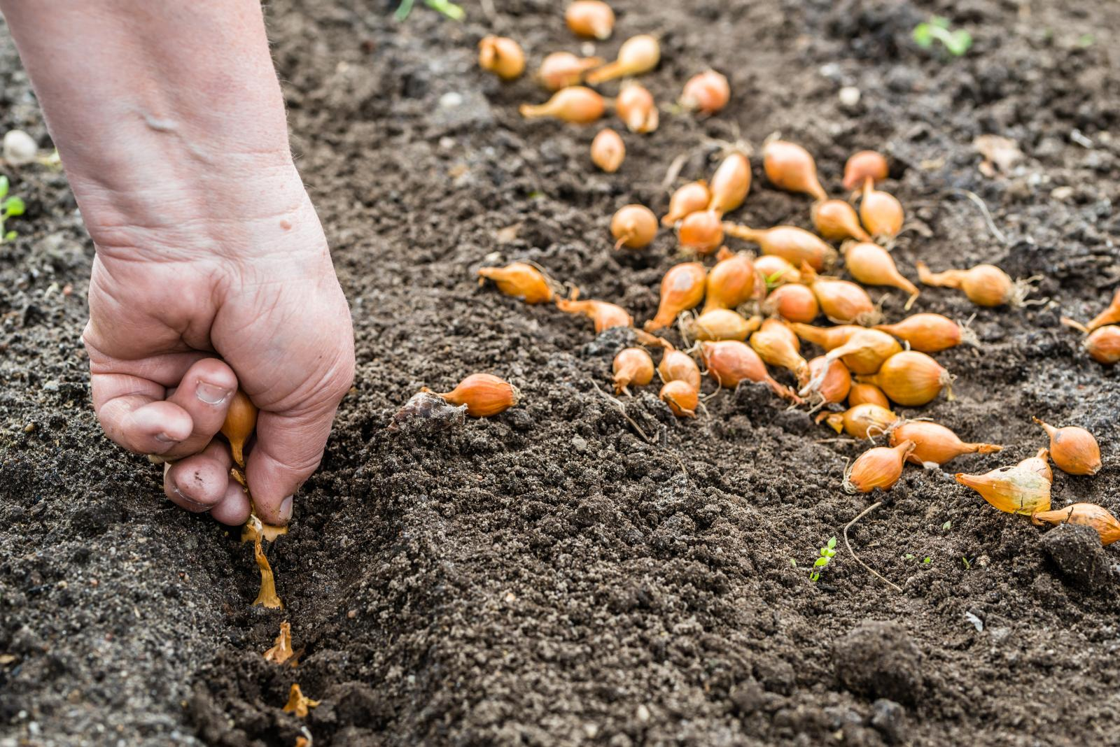 Sowing onions outside