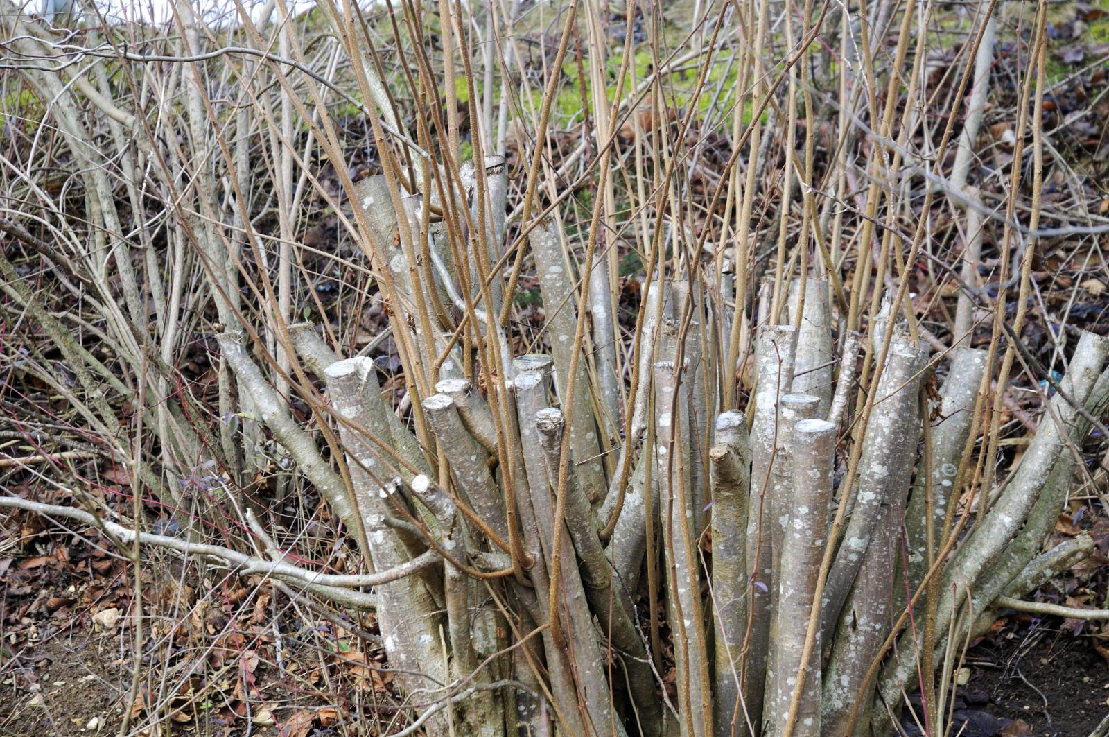 Winter pruning of deciduous trees and shrubs