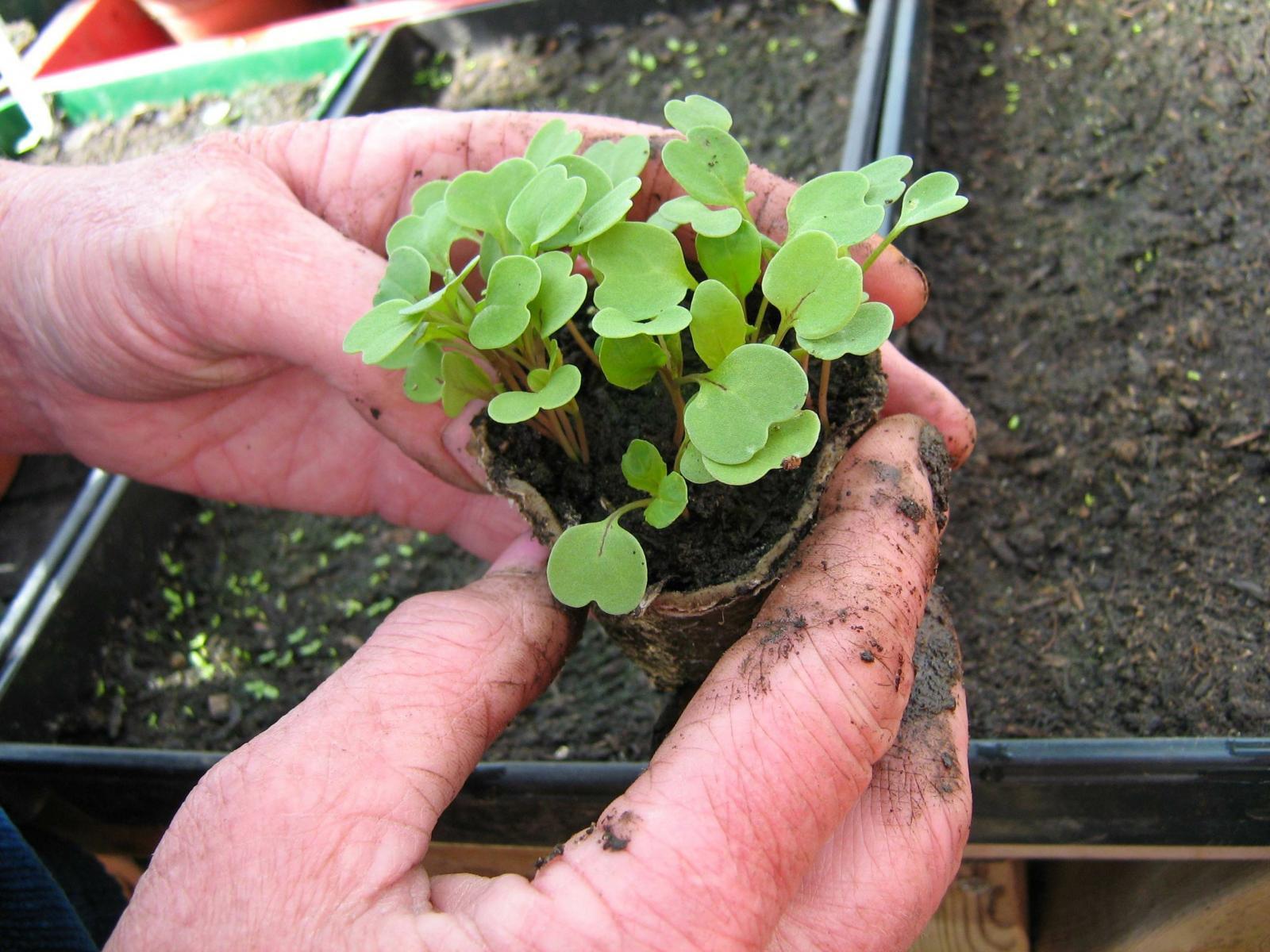 Rocket Seedlings
