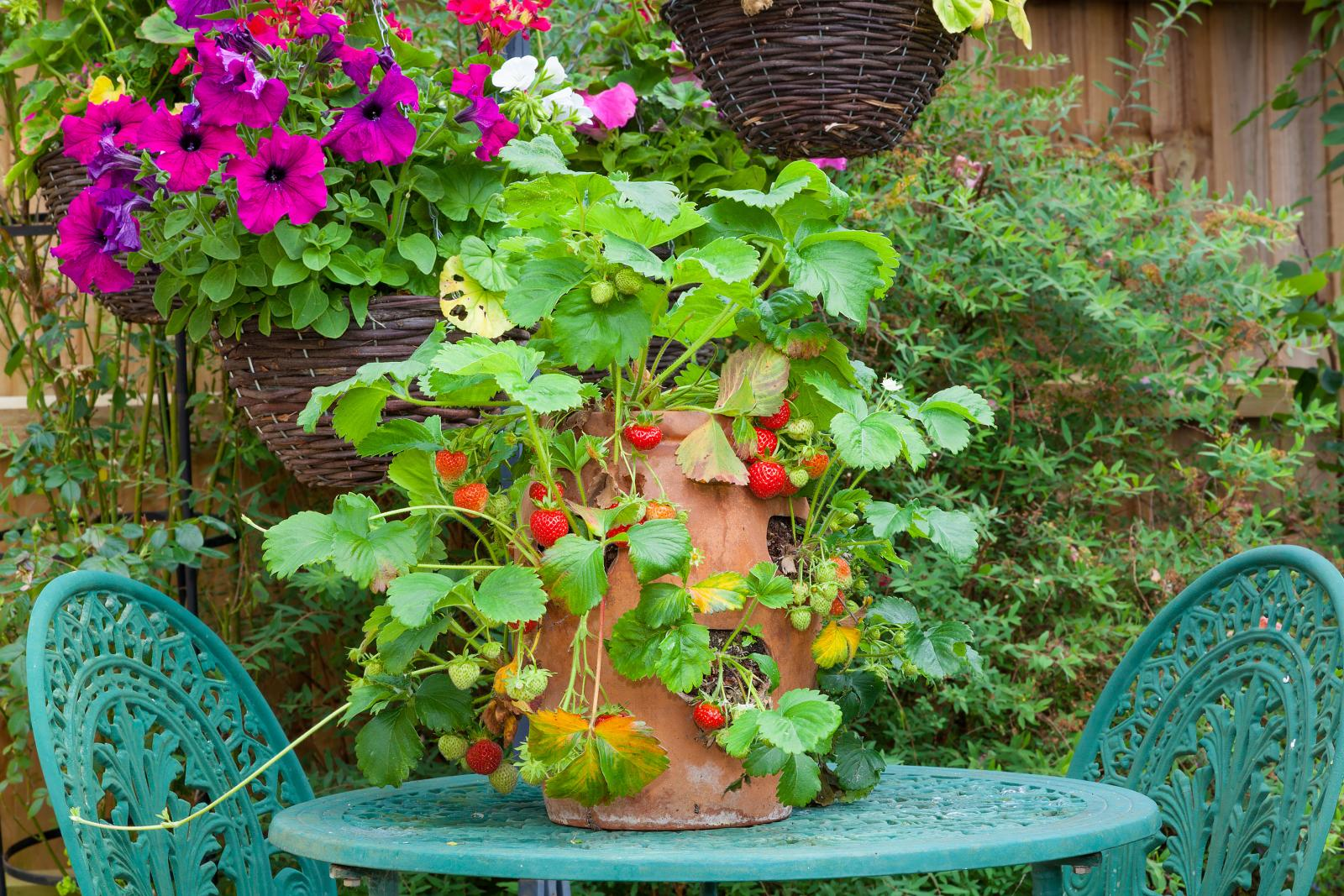 Strawberries in a terracotta planter