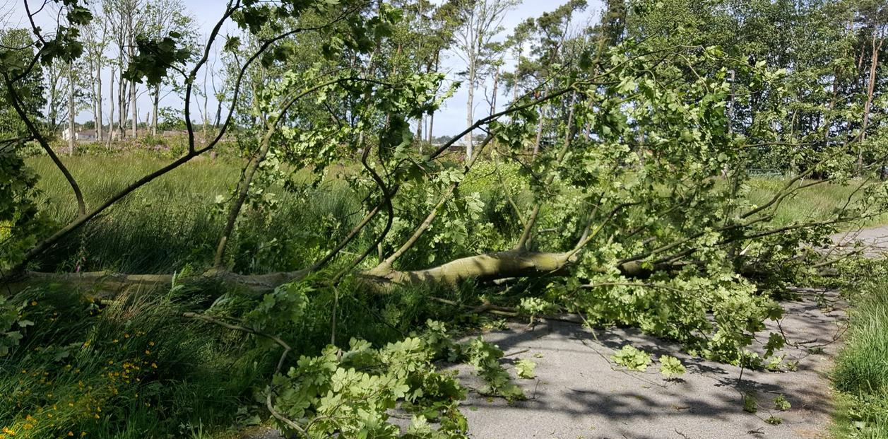 Fallen tree windstorm damage