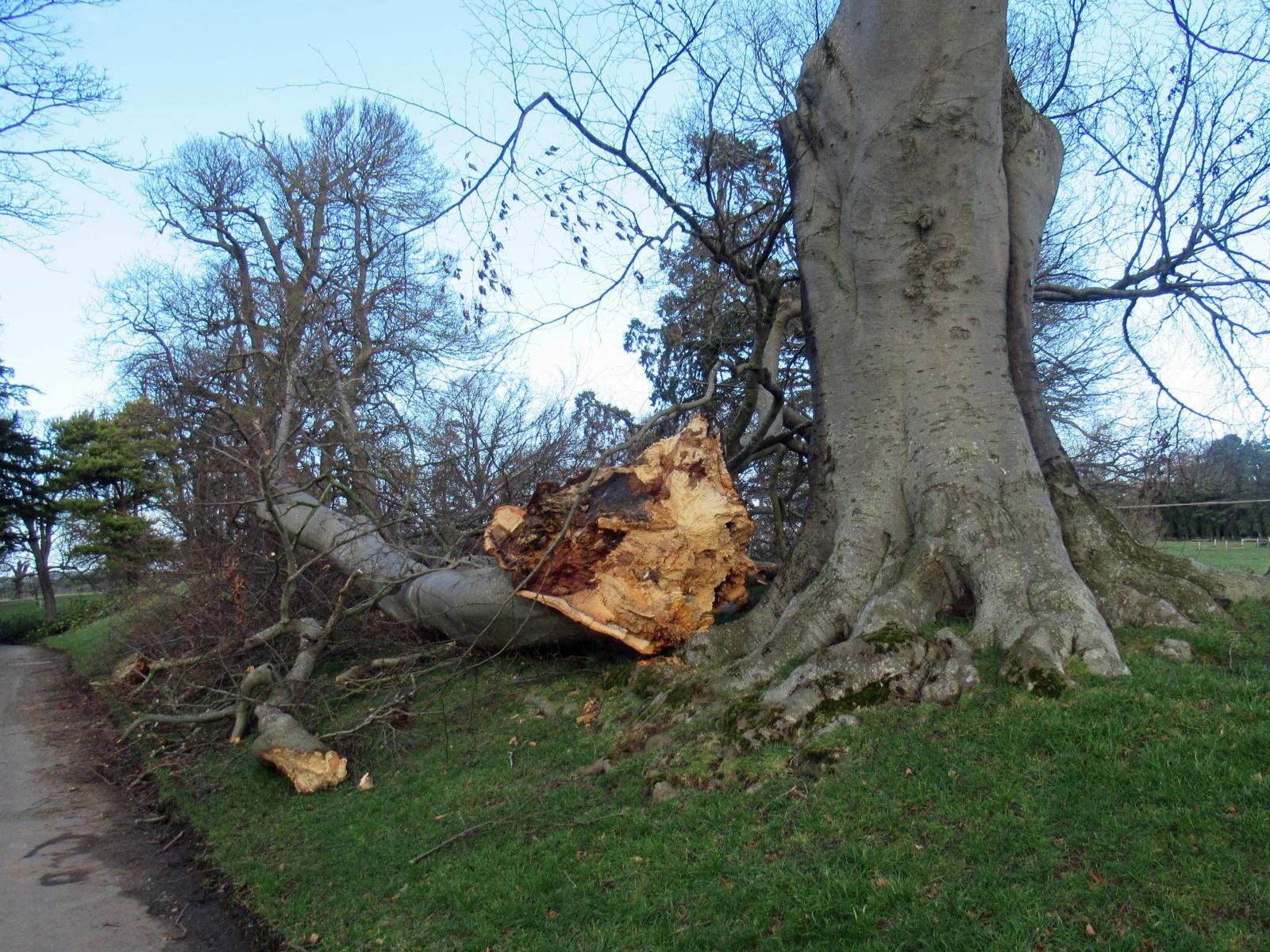 fallen tree in strong winds