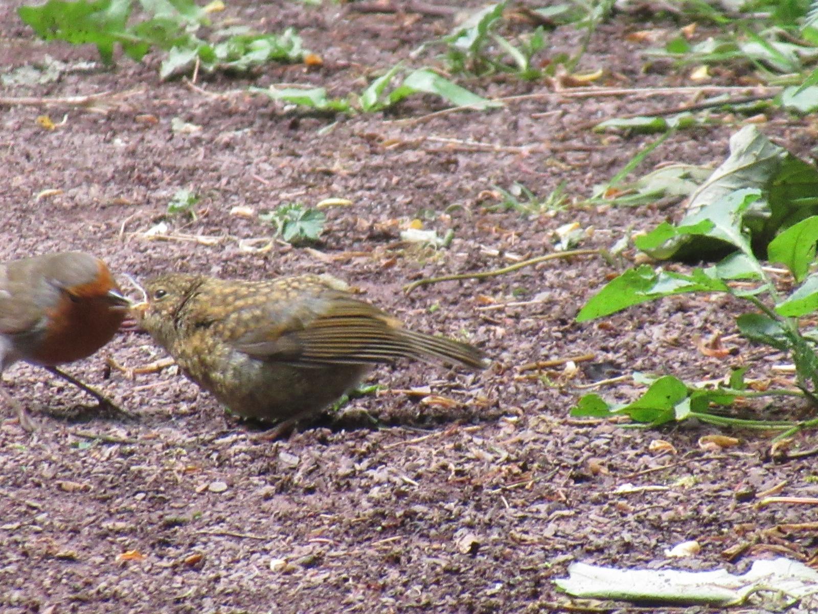 Fledgling robin
