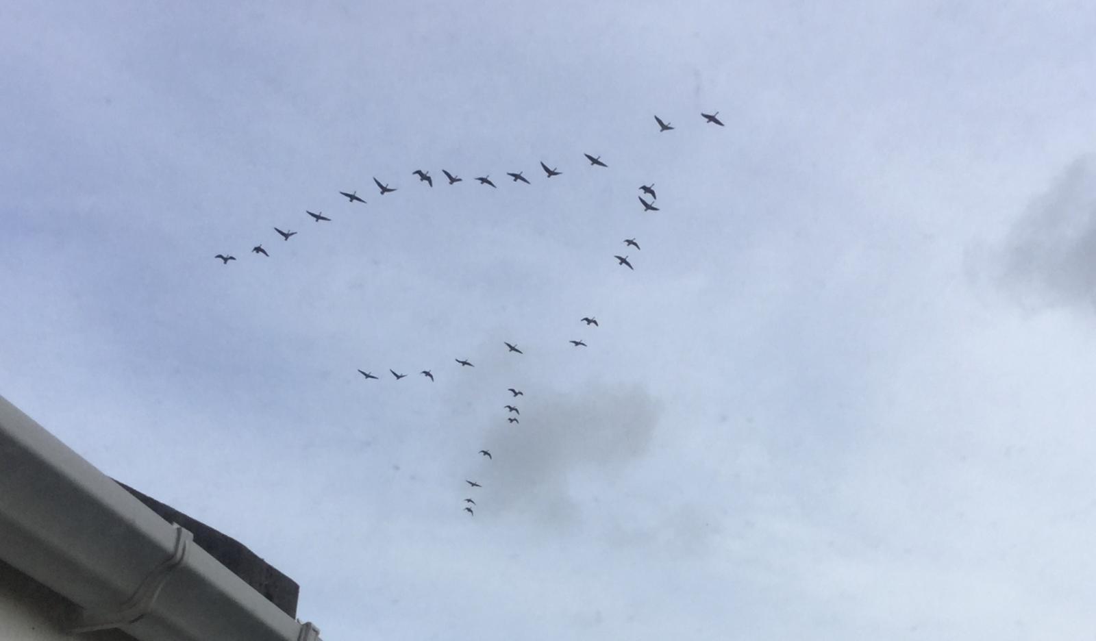 Migration GEese skein UK