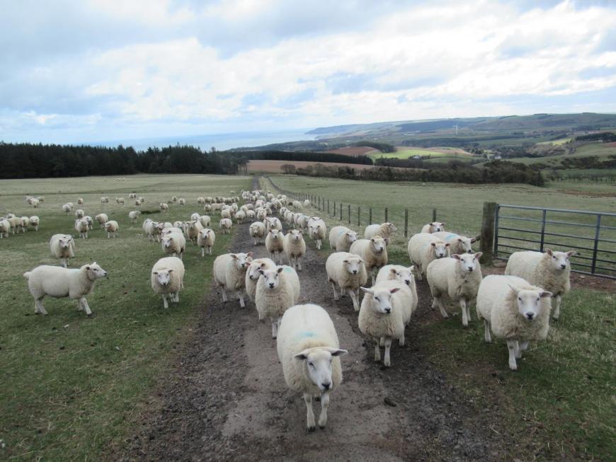 sheep blocking a path on a hillside